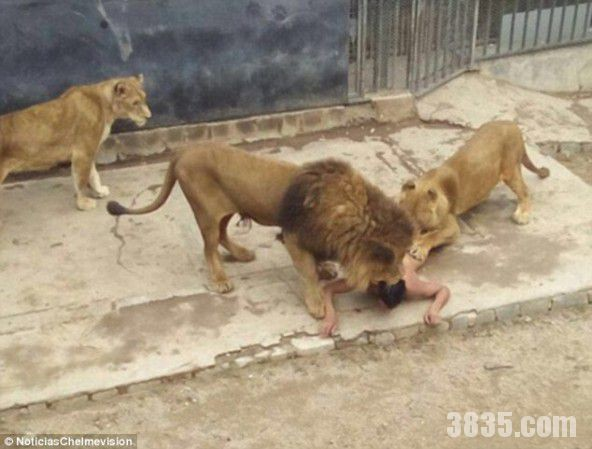Nam thanh niên nhảy xuống chuồng sư tử tự sát