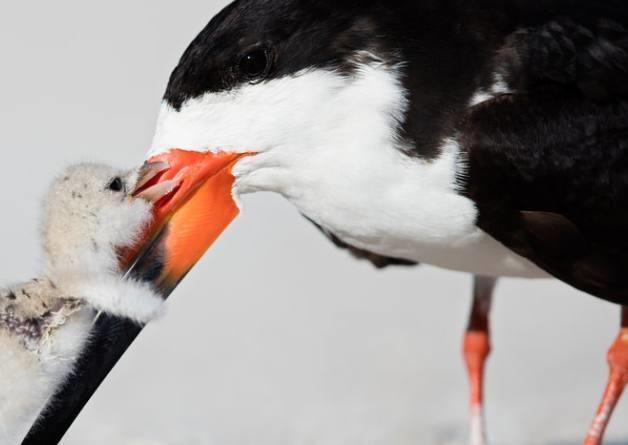 """Thomas Chadwick đến từ Florida, Mỹlàmột người yêu động vật hoang dã, anh đã ghi lại được khoảnh khắc chú chim non mới sinh không bao lâu đang cố gắng thể hiện tình cảm với chim mẹ khi được cho ăn. Trong bức hình, chim con đang dùng chiếc mỏ nhọn nhỏ xíu của mình khẽ chạm vào chim mẹ, hai cánh dang ra như muốn thể hiện tình cảm với mẹ mình,khiến người xem có cảm giác như chú chim non đang muốn nói: """"Mẹ ơi, con yêu mẹ lắm""""."""