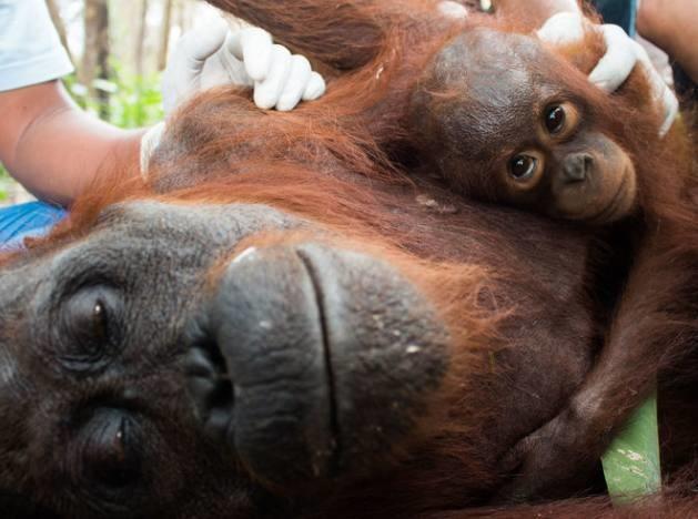 Tại Borneo, do khu vực sinh sống của động vật bị cháy nên cácnhân viên ở đây buộc phải tìm cách di chuyển những con tinh tinh đi nơi khác. Các nhân viên đã sử dụng súng gây mêđể gây mê một con tinh tinh mẹ, vì thiếu thốn thức ăn, cơ thể tinh tinh mẹ rất yếu,nó gần như sắp không thể chịu đựng được nữa, các bác sĩ thú y đang cốhết sức để cứu con tinh tinh này. Trong ảnh là chú tinh tinh con đang ôm chặt lấy tinh tinh mẹ, nhất quyết không chịu rời xa. Hình ảnh nàyđã khiến rất nhiều người cảm động vì nhận ra rằng hóa ra động vật cũng biết yêu thương giống con người.