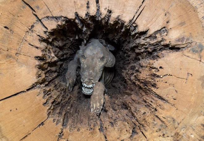 Vì sao chú chó trong thân cây 60 năm không bị phân hủy
