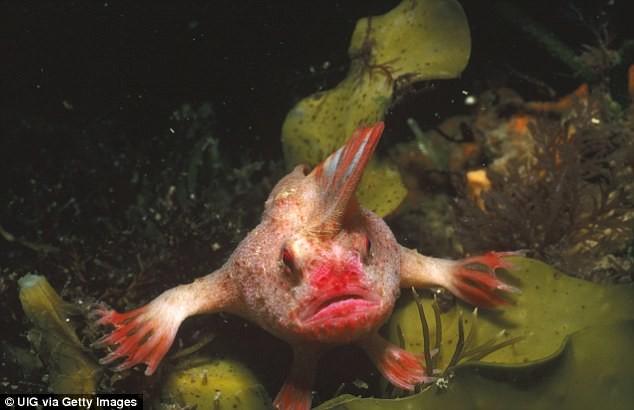 Loài cá nàysẽdùng những chiếc vây giống hệt như đôi cánh tay để bò dưới đáy biển chứ không phải bơi như những loài cá thông thường