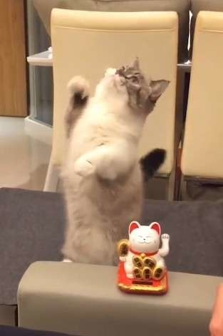 Rụng tim với hoàng thượng bắt chước mèo thần tài vẫy tay