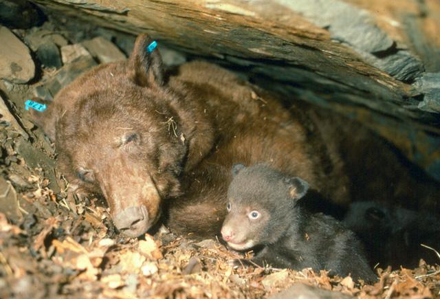 Có Thể Bạn Chưa Biết: Gấu không hề ngủ đông và những lầm tưởng tai hại về thế giới động vật - Phần 1