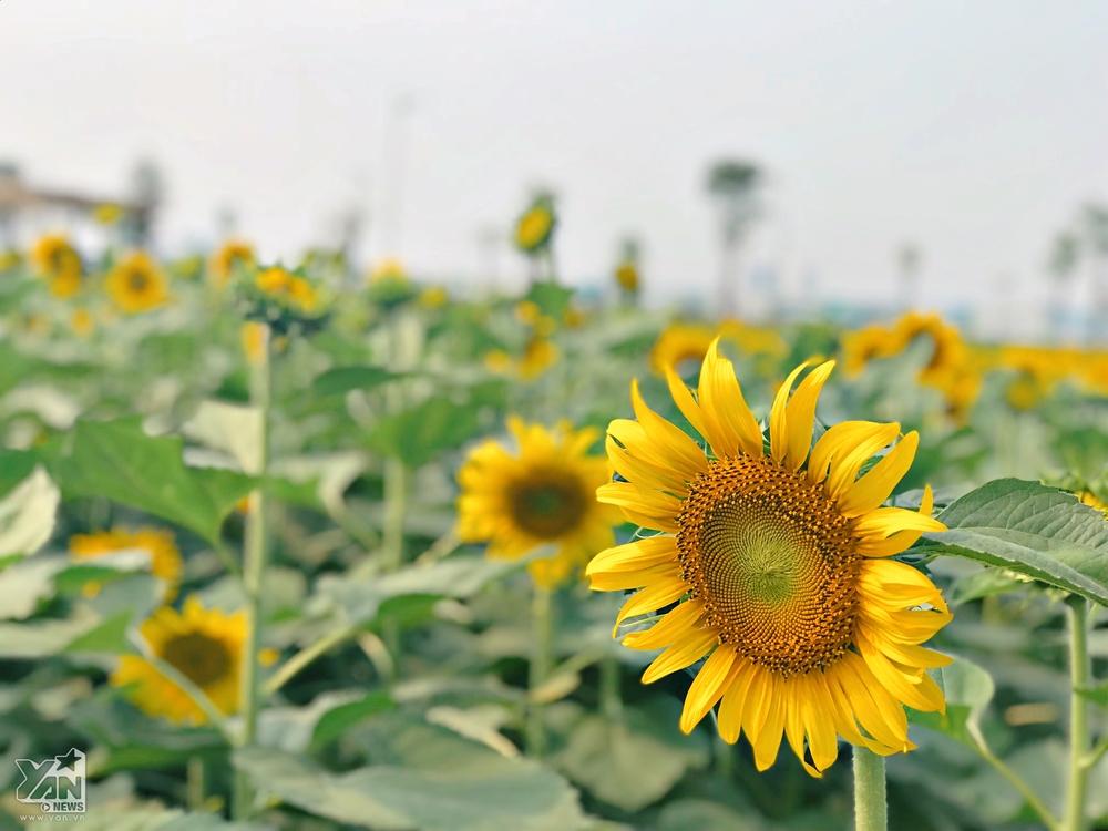Hoa hướng dương nở xòe to như hoa được trồng ở Đà Lạt