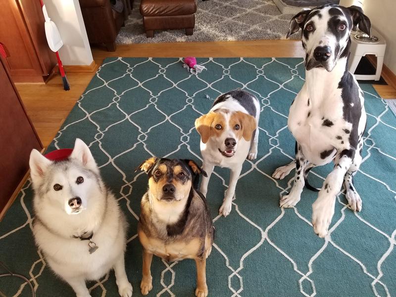 Nó rất hòa đồng với ba chú chó khác trong gia đình mới.