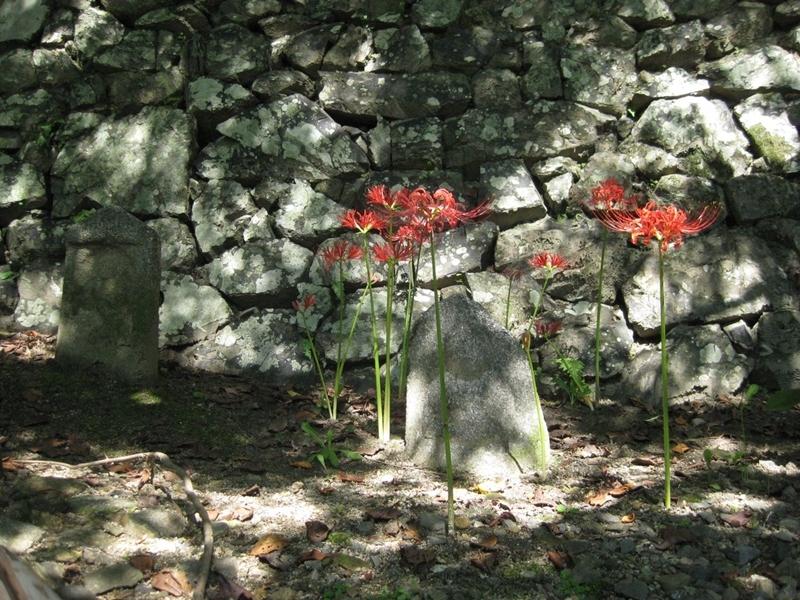 Củ hoa bỉ ngạn rất độc, vì thế nó được trồng xungquanh các ngôi mộ để xua đuổi động vật có hại.