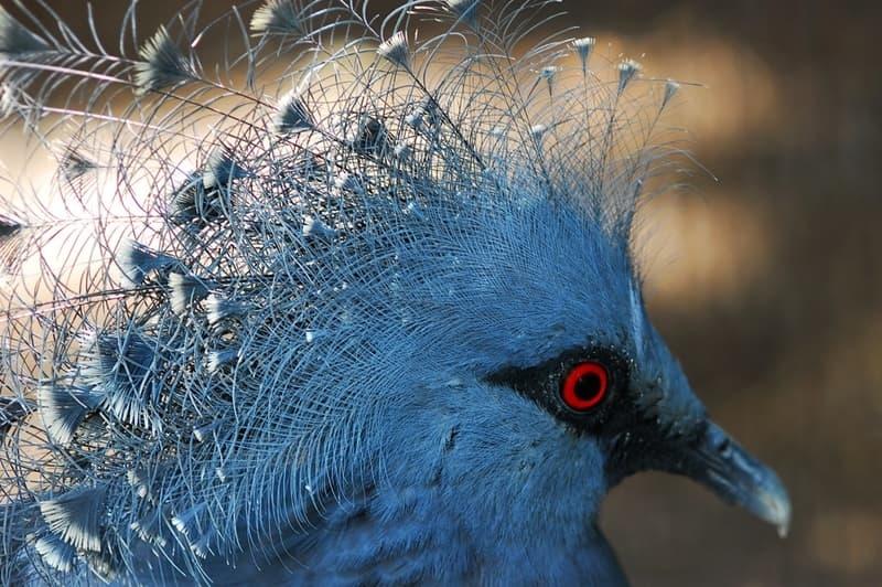 Đặc điểm dễ nhận thấy nhất của loài bồ câu vương miện đó là bộ lông màu xanh pha xám, đôi mắt đỏ rực có viền đen, và một chỏm lông nổi bật trên đầu.