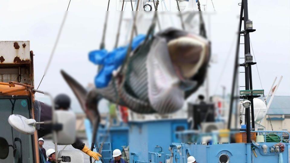 Có lẽ Nhật Bản nên tìm hướng đi mới thay vì cứ tiếp tục săn bắt cá coi. (Ảnh: Fautp)