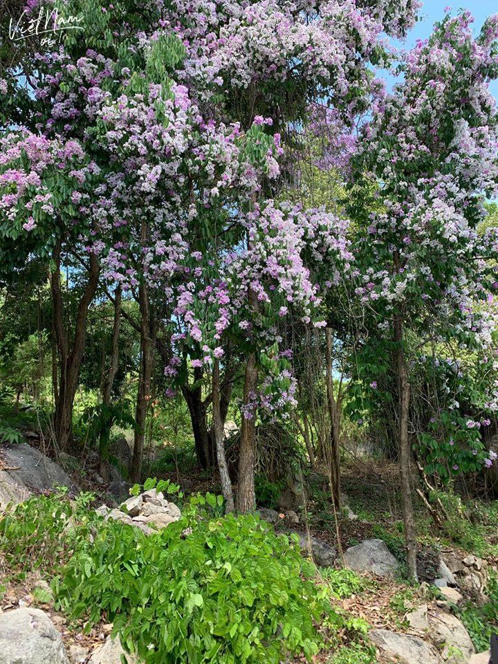 Bằng lăng trên đường đồi lên chùa Bạch Vân - Núi Két tại thị trấn Nhà Bàng mọc một cách tự nhiên hoàn toàn.