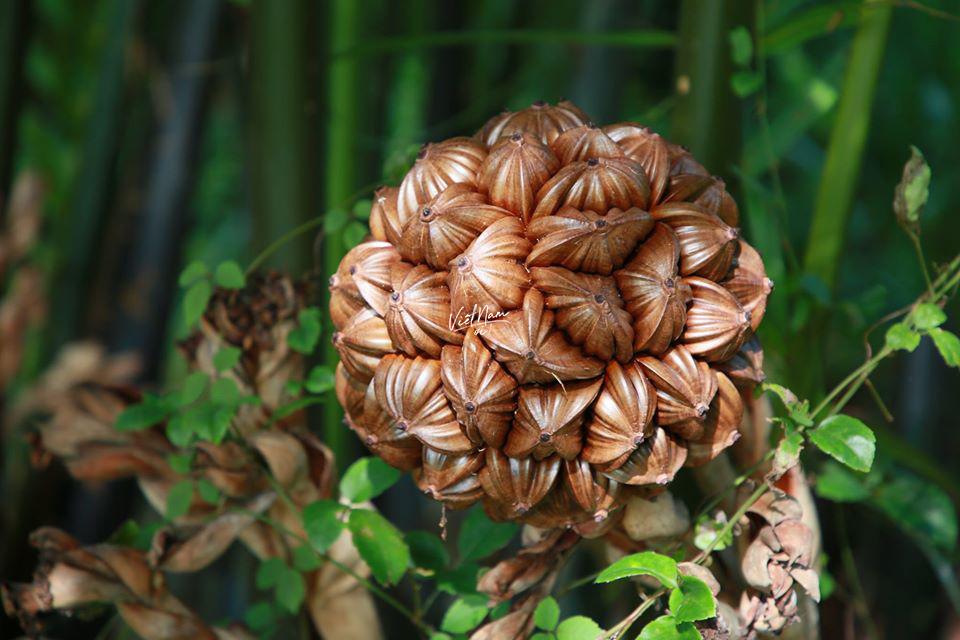 """Quả dừa nước nhưng trông như một bông hoa vậy, """"mỗi cánh"""" là chứa nước và nhân rất thơm."""