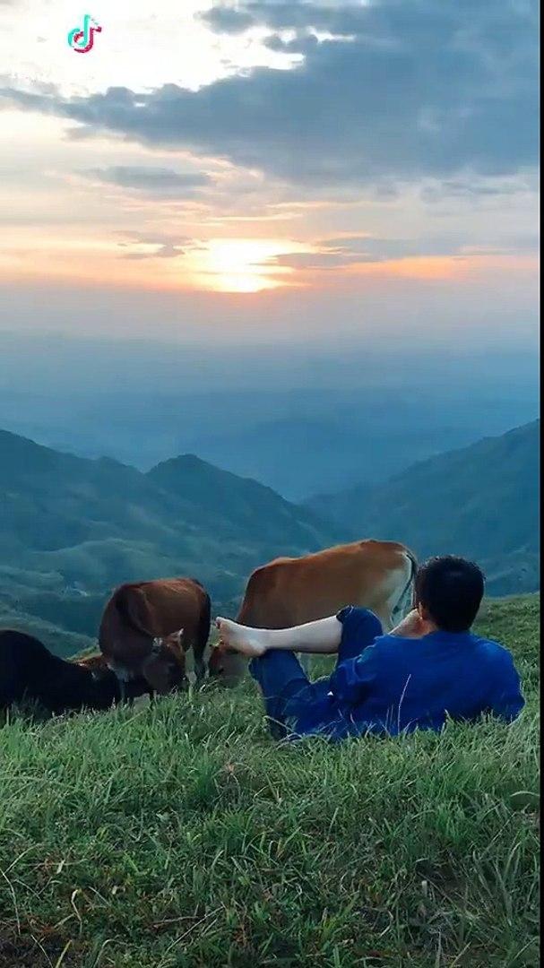Cuộc sống chăn bò có dễ không? (Ảnh minh họa: Chụp màn hình)