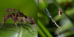 Rùng mình trước loài nhện 'siêu nhân' có khả năng du tơ săn mồi chuyên nghiệp như đặc công Mỹ