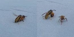 Kinh dị: ong thợ bị ong bắp cày hung bạo xé toạc làm 2 mảnh vẫn lao vào giao chiến