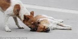 Cảm động hình ảnh 4 chú chó ngồi bên xác bạn không rời do bị xe ô tô đâm chết trên đường