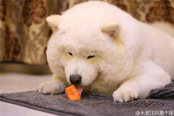 Ngắm dung nhan mĩ miều của chú chó ục ịch như gấu