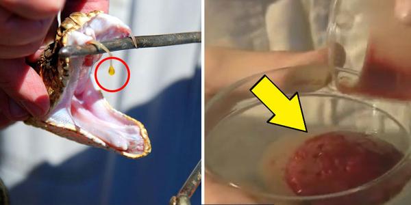 Nhỏ nọc độc rắn vào máu người, chuyện đáng sợ xảy ra chỉ sau vài giây