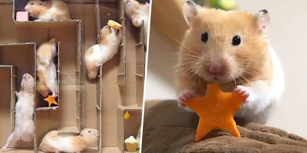 Chú chuột Hamster chinh phục mê cung tìm thức ăn và thoát ra ngoài bằng cách không tưởng